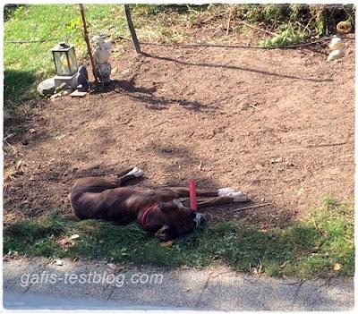 Boxer Amy ist müde von der Gartennarbeit