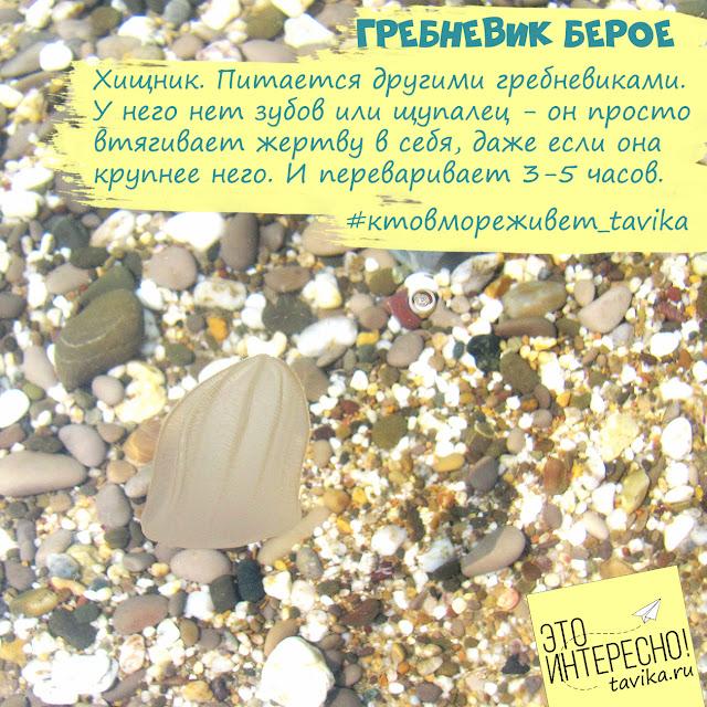 гребневик берое в Черном море