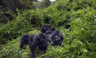 Primates en la Selva del Congo