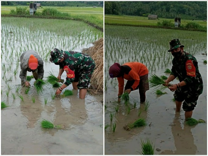 Giat Babinsa Desa Seloto, Sumbawa Barat Temani Emak-mak Tanam Padi