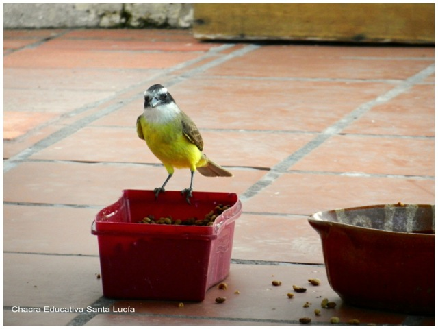 Benteveo comiendo la ración de los perros - Chacra Educativa Santa Lucía