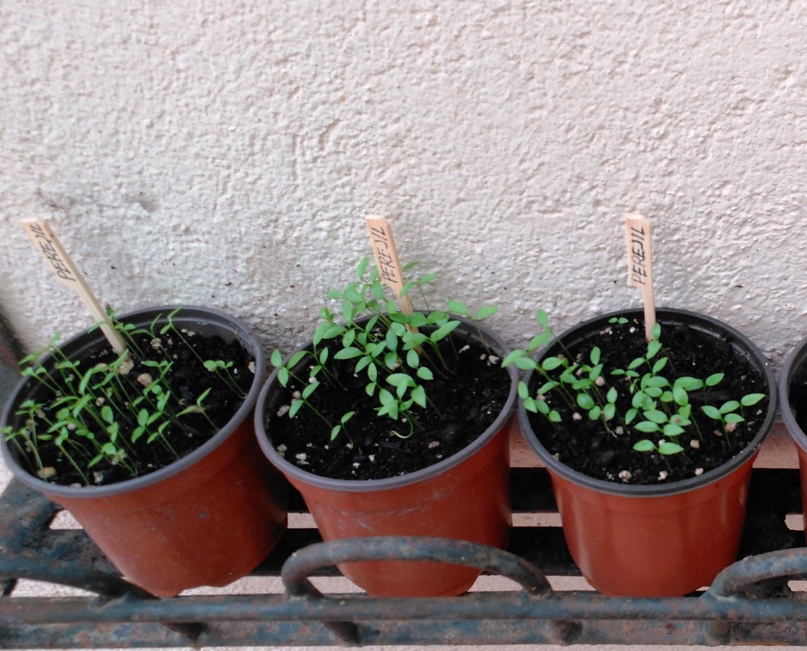 Huerto casero de quiquet como sembrar perejil en casa for Como sembrar semillas en macetas