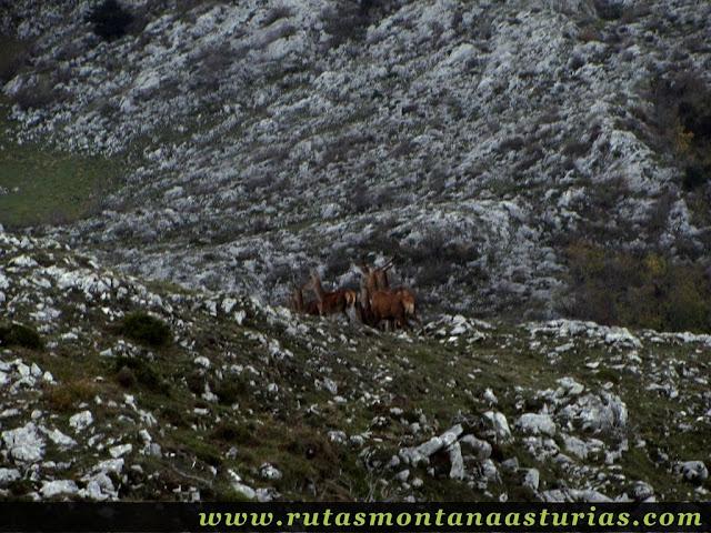Circular Coañana Saleras: Manada de ciervos