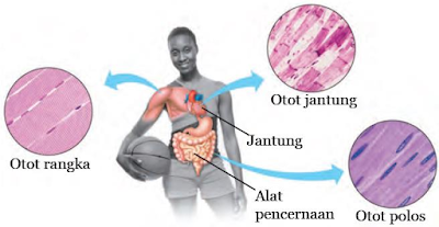 Gambar  Tiga Jenis Otot pada Tubuh Manusia