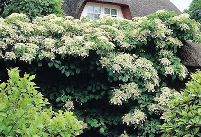 Mature Hydrangea petiolaris in full bloom