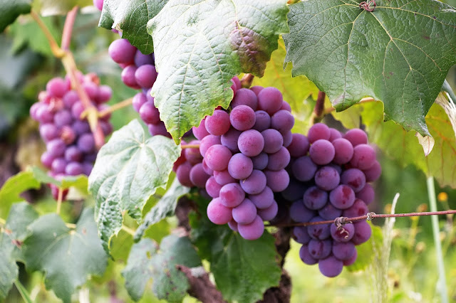 plump and juicy grapes growing on a tree