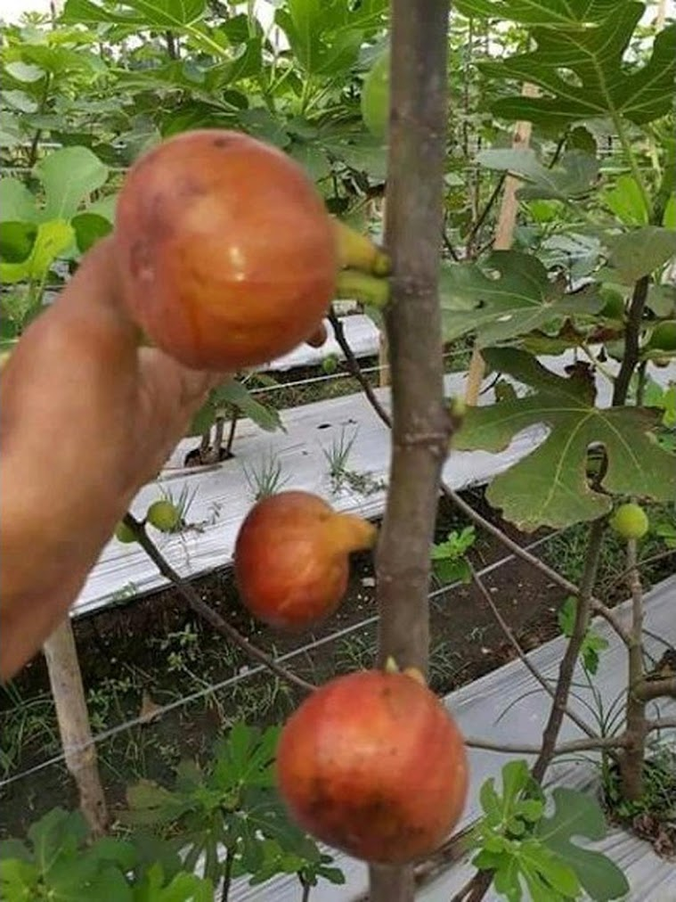 bibit buah tin syirian honey FC fresh cangkok Sulawesi Utara