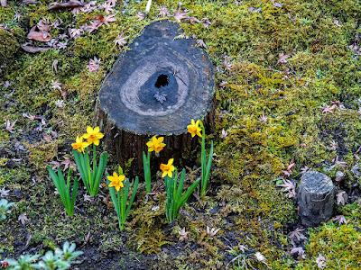 Suisen (Narcissus) flowers: Kaizo-ji