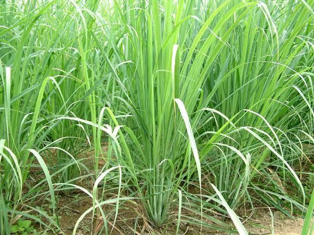 Lemon Grass Ni Kheti