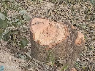 वन दरोगा की मिलीभगत से वन माफिया चला रहे हरियाली पर आरा
