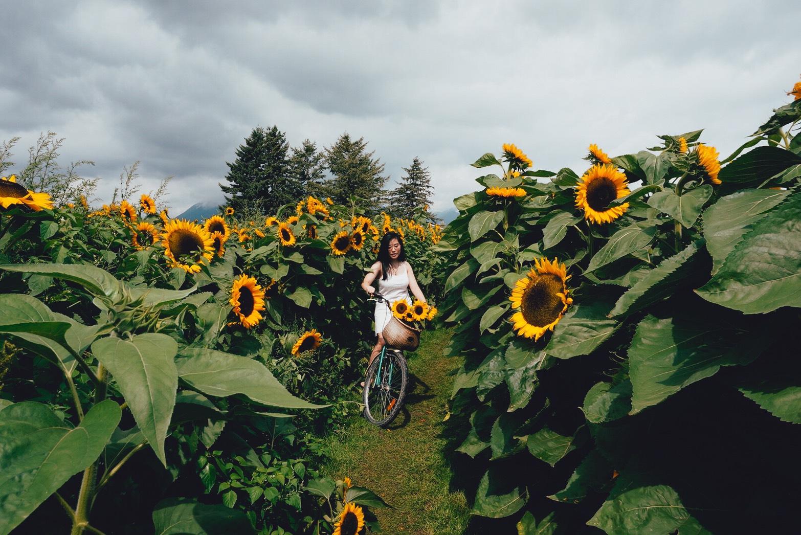 Sunflower Festival Chilliwack BC Canada