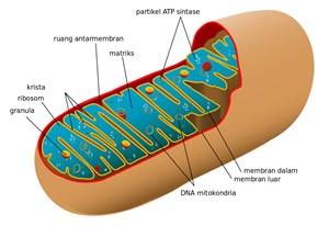 Pengertian Mitokondria