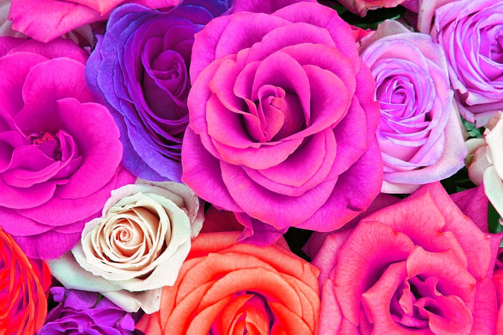 magenta roses wallpaper - photo #4