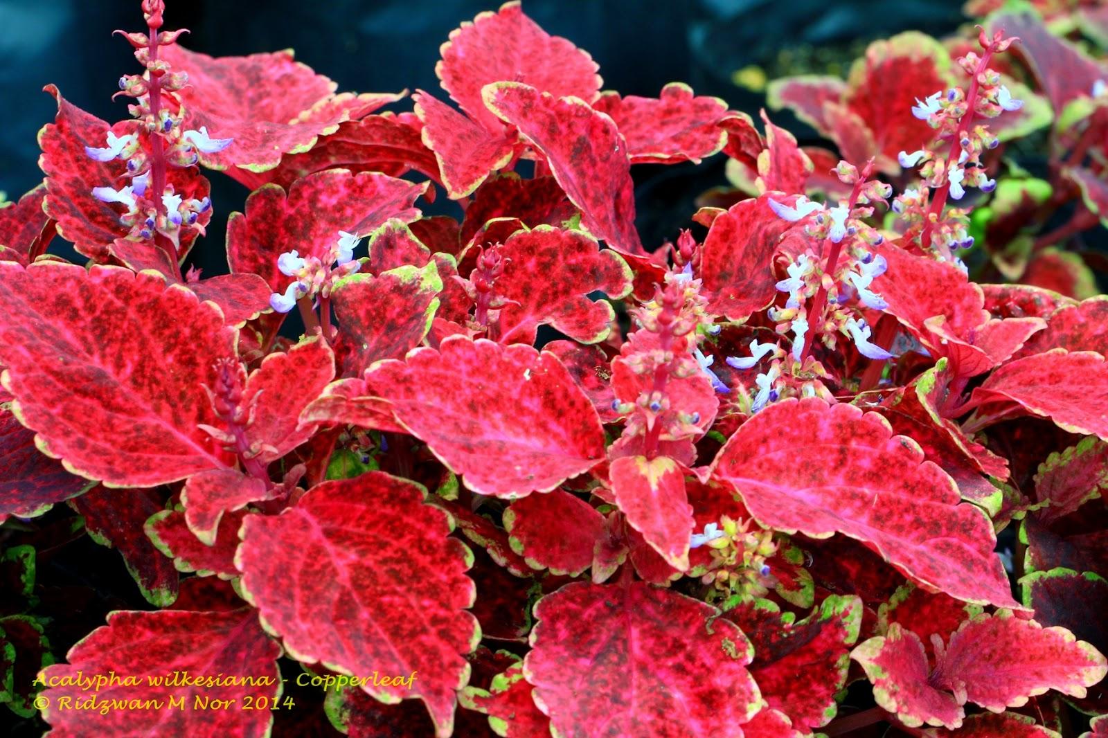 Acalypha Wilkesiana Copperleaf Flowers Around Us By Ridzwan Mn