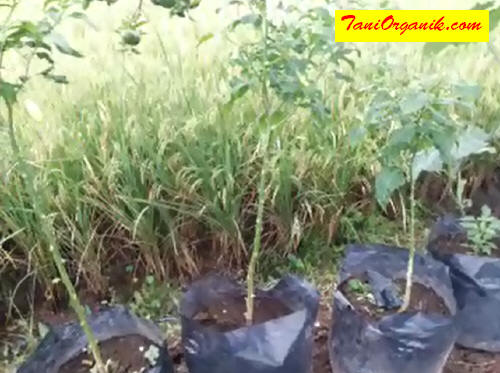 Tanaman menjadi terhambat pertumbuhannya dan sulit berproduksi karena zat makanan dihisap oleh gerombolan kutu.
