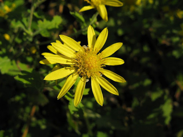 Cúc Hoa Vàng - Chrysanthemum indicum - Nguyên liệu làm thuốc Chữa Cảm Sốt