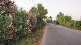 flores laurel Cerdeña