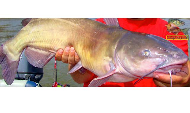 سمك الدقماق النيلى