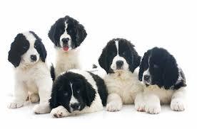 Anjing Ras Landseer