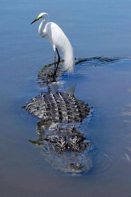 birds on alligators