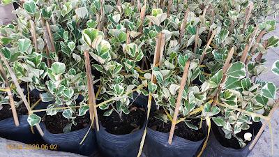 Các cây si Thái cẩm thạch được cặm tre và quấn báo trước khi giao hàng.