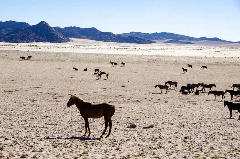 desert horse, desert horses, wild horses in africa, namib desert horse, african wild horses, african horses, horses africa, horses in africa, are there horses in africa, history of horses in africa, horse like animals in africa, desert horse breeds, african horse breeds, namibia wild horses, desert horse breeds,