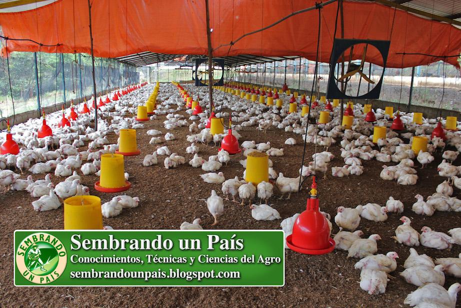 pollos de plumaje blanco