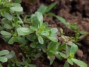Pourpier : plante comestible, propriétés, recette