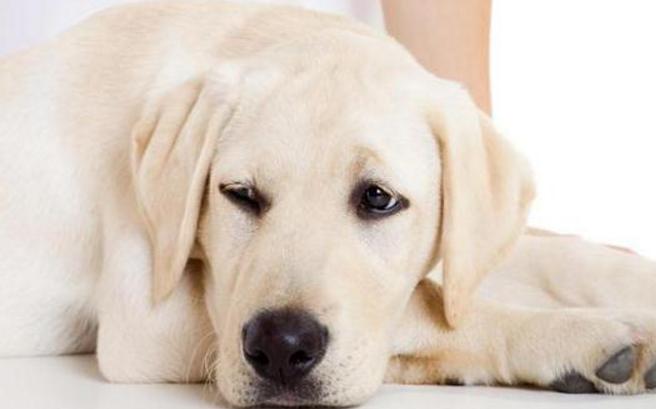 10 Cara Mangatasi Muntah Pada Hewan Peliharaan