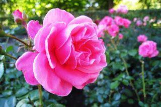 Gambar Bunga Mawar Yang Cantik Mempesona 200169_Pink Roses