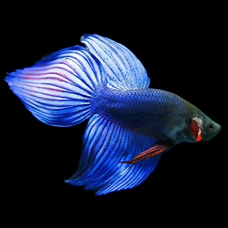 Image Betta Fish for Sale