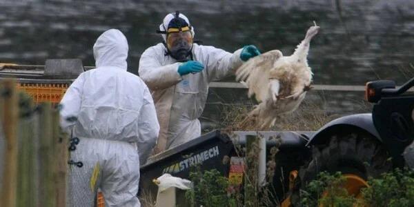 En Filipinas surge brote de gripe aviar H5N6: puede contagiar a humanos