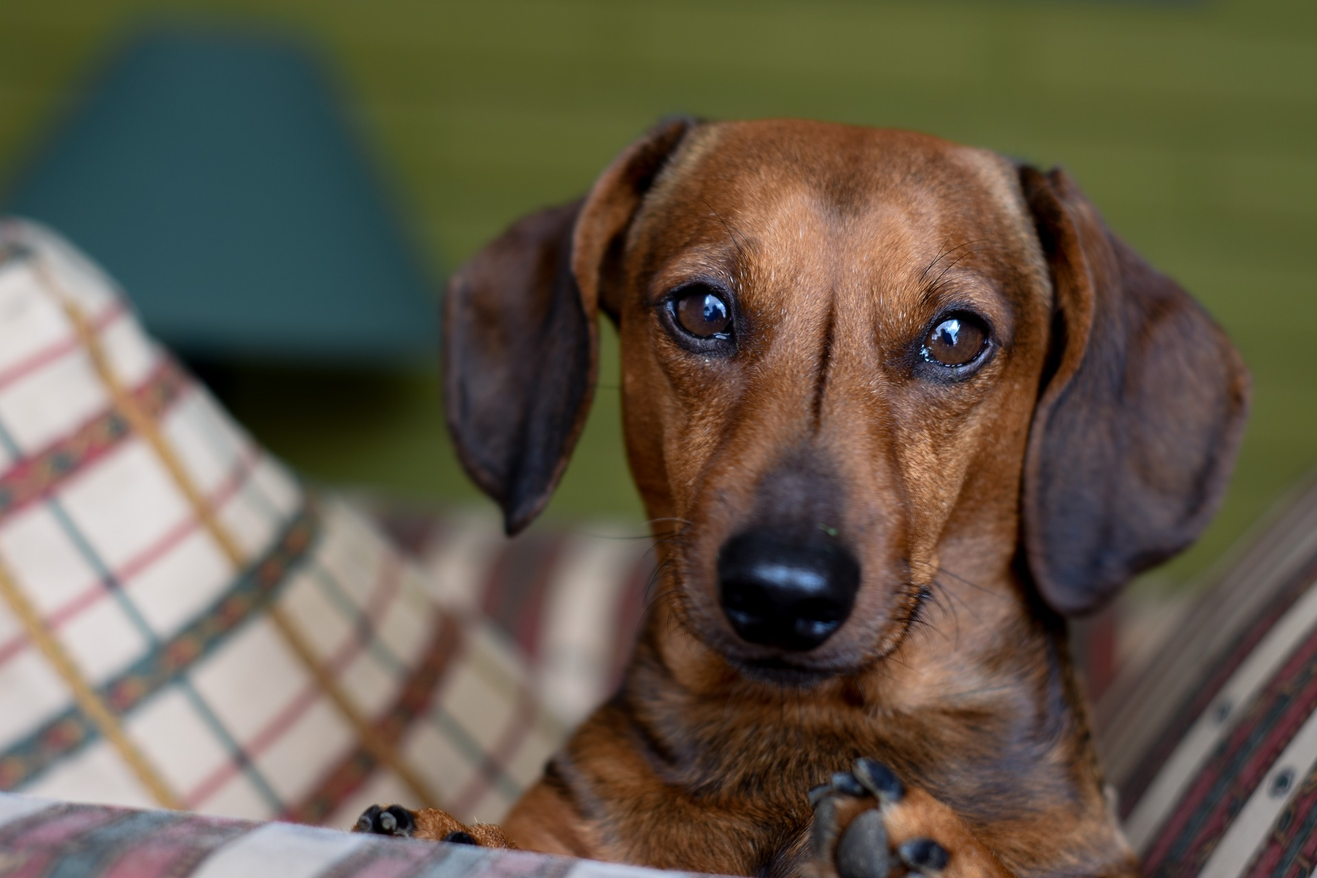 Info about the Daschund Dogs
