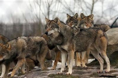 Λύκοι κατασπαράζουν κοπάδια στα βουνά του Σουλίου