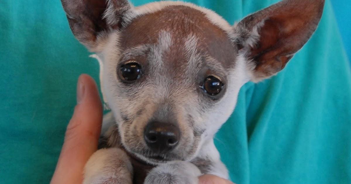 Nevada Spca Animal Rescue Xoloitzcuintli X Puppies