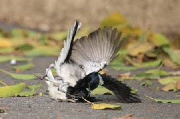 cara merawat burung kacer mbagong,mabung,mengatasi stress,lomba,
