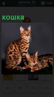 На фотографии изображены две породистых кошки, одна из которых лежит и смотрит в сторону