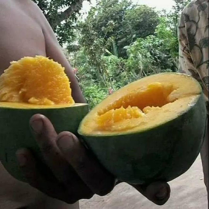 Bibit buah mangga alpukat super unggul Jawa Timur