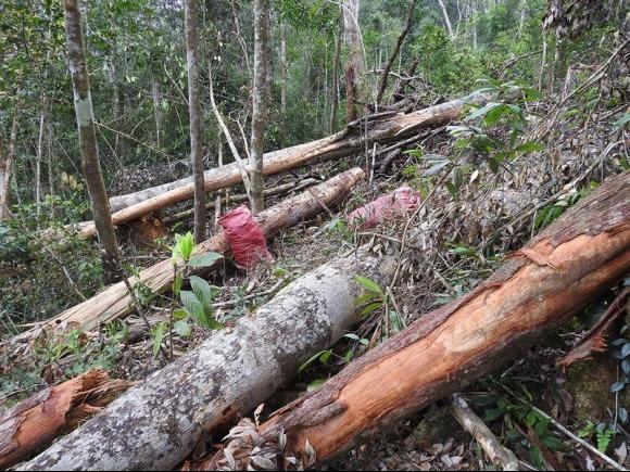 Chặt hạ cây rừng đẽo lấy vỏ bán cho thương lái