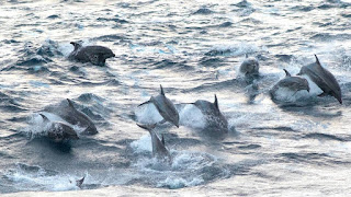 British Columbia, West Coast Vancouver Island, Bottlenose Dolphins