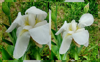 white iris flower spring photo collage