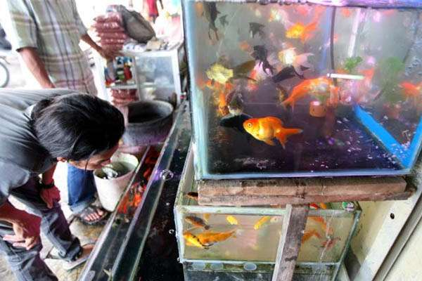 pecinta ikan hias indonesia grup dan forum ikan hias indonesia