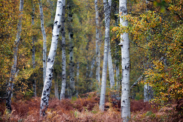 Siver birch stand among the autumn colours in Holme Fen nature reserve