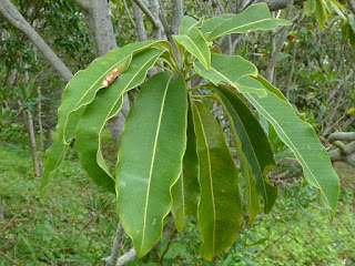 Sideroxylon majus - Bois de fer