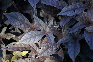 Ipomoea batatas 'Sweet Caroline Purple'