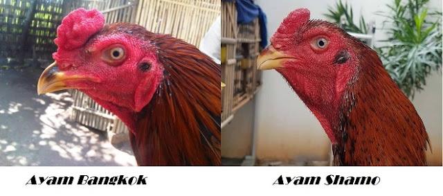 Perbedaan Kepala Ayam Shamo dan Bangkok
