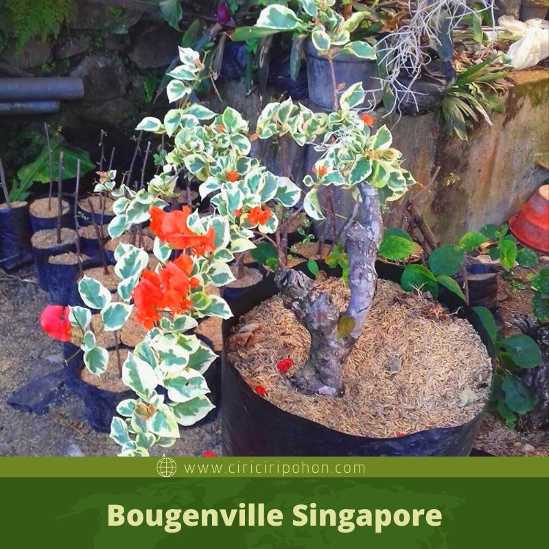 ciri ciri pohon Bougenville Singapore