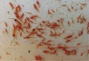 Cara Budidaya Artemia Mengunakan Botol Alam Ikan