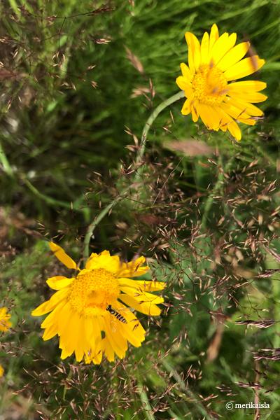 Keltainen, voikukan kalainen kukka