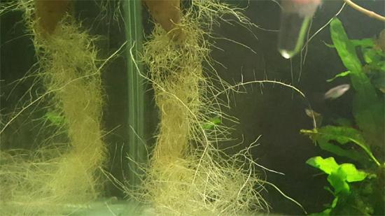 Roots Of Sweet Potato in Aquarium